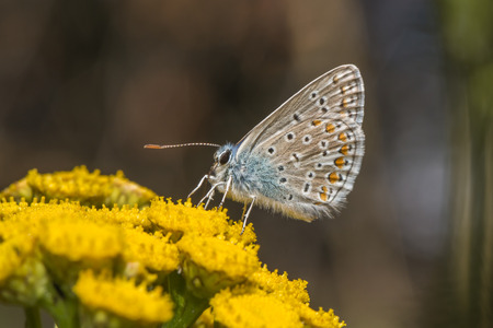 common blue: A common blue is sitting on a flower