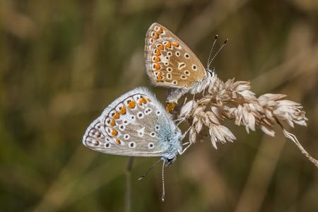 polyommatus icarus: A couple of common blue by the pairing
