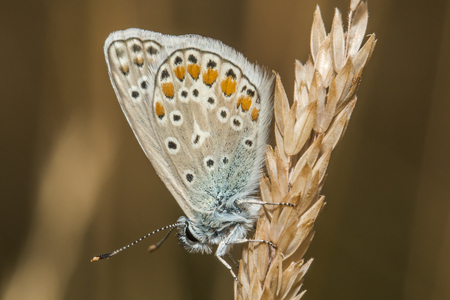 coppers: A common blue is sitting on a grass-stock