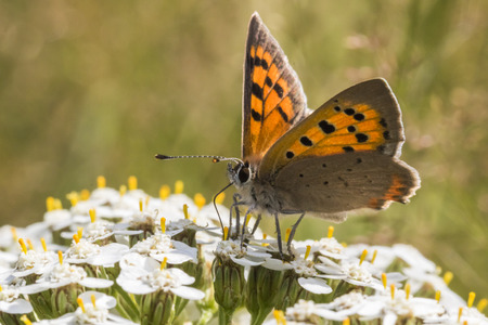 coppers: A common copper is sitting on a grass-stock