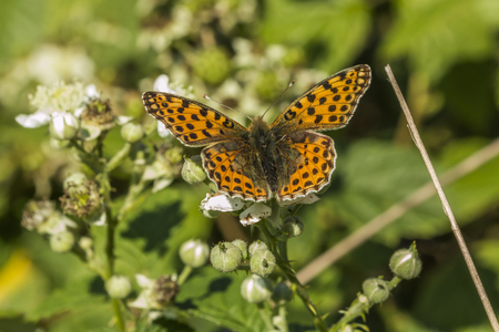 A Queen of Spain fritillary is sitting on a white blossom