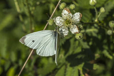 pieris: A cabbage butterfly suckles on a blossom