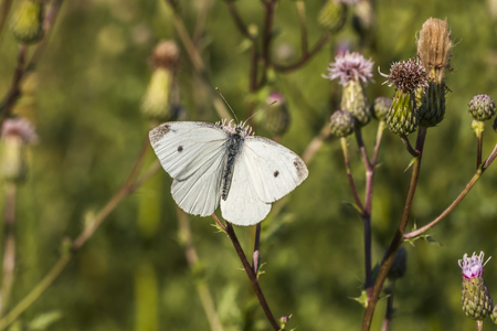 A cabbage butterfly suckles on a blossom