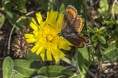 coppers: A Brown argus is sitting on a blossom