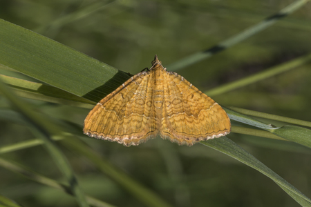 bilineata: A yellow shell moth is sitting on a leaf