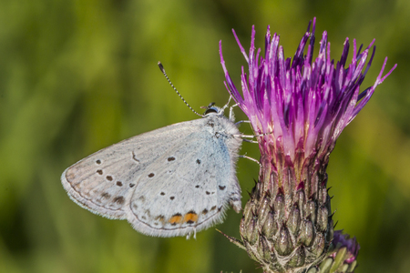 coppers: A short-tailed blue is sitting on a grass-stock