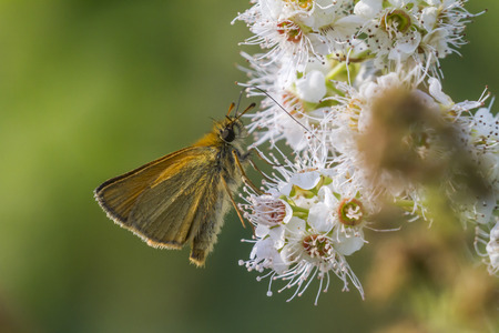 ochlodes: A large skipper is sitting on a flower Stock Photo