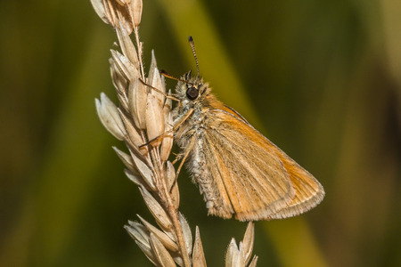 ochlodes: A large skipper is sitting on a grass-stock
