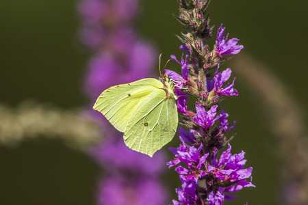 gonepteryx: A common brimstone suckles on a blossom