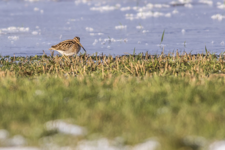 A common snipe on a frozen puddle