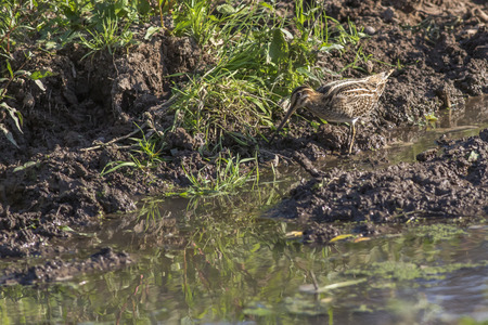 fantail: A common snipe on a muddy riverside Stock Photo