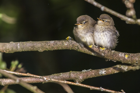 Two common whitethroats on a branch Stock Photo