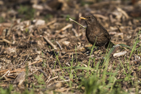 turdus: A blackbird is searching for fodder