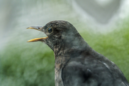 bough: Blackbird is singing on a rainy day at the window Stock Photo