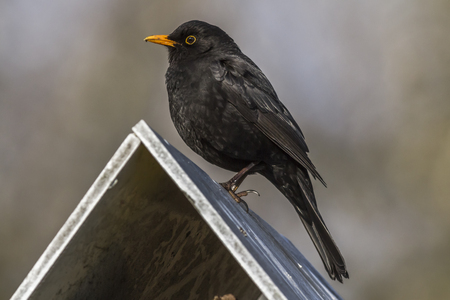 turdus: A blackbird is sitting on the top of a bird table