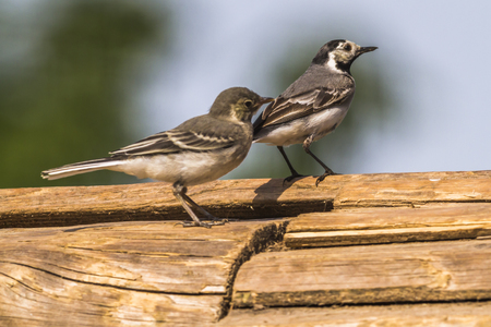 motacilla: A white wagtail is searching for fodder Stock Photo