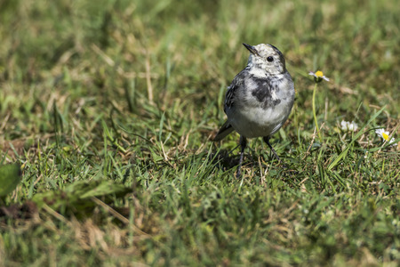 A white wagtail is searching for fodder Stock Photo
