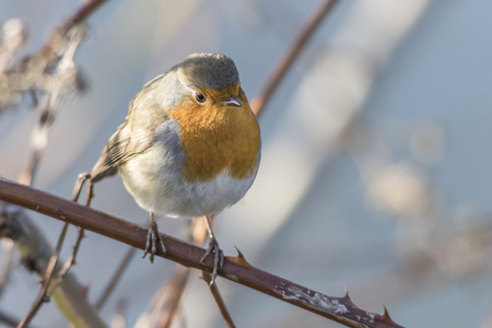 erithacus rubecula: A robin redbreast is sitting on a branch Stock Photo