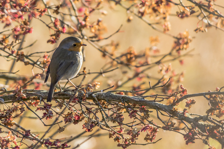 redbreast: A robin redbreast is sitting on a branch Stock Photo