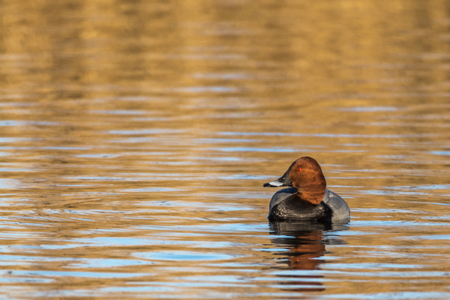aythya ferina: A common pochard is swimming on a pond