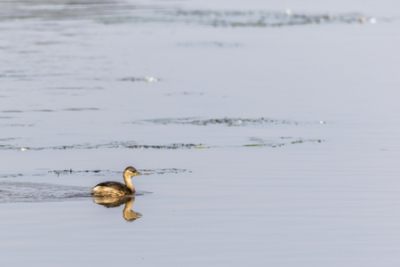 A dabchick on a pond is searching for fodder
