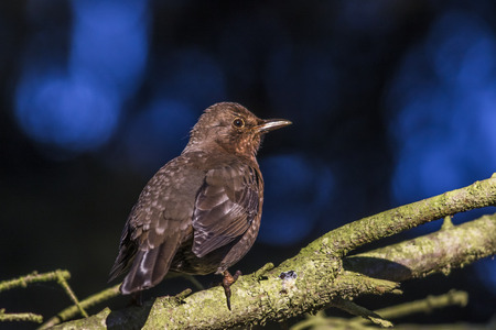 bough: A blackbird is sitting on a branch