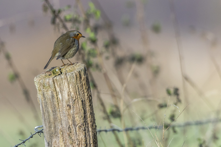 redbreast: A robin redbreast is sitting on a post