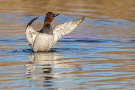 A common pochard is swimming on a pond