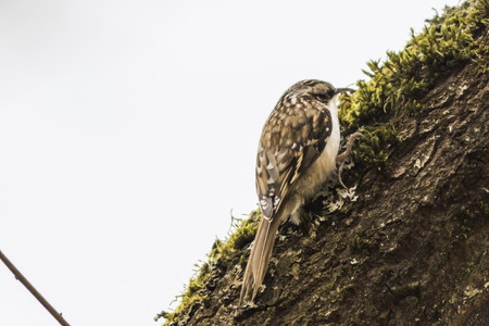Common treeceeper is searching for fodder on a tree
