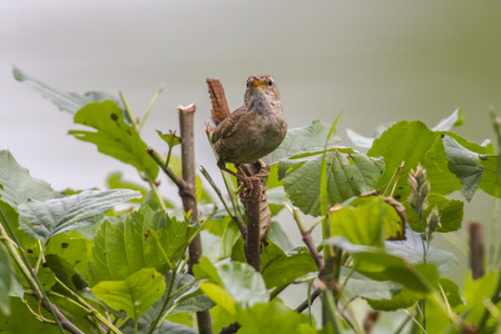 A little wren is searching for fodder
