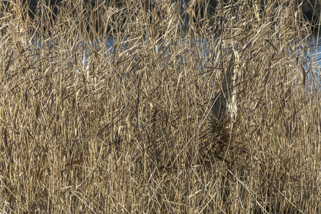 common reed: A common bittern hides in the reed grass Stock Photo
