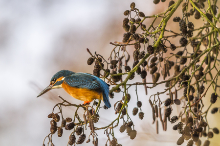 alcedo atthis: A kingfisher is sitting on a branch