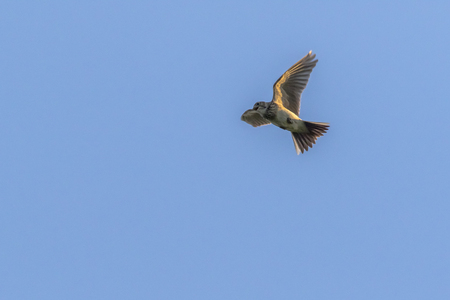 A common skylark in the flight