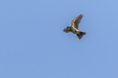 A common skylark in the flight