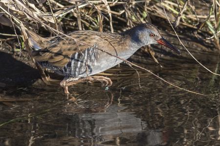 streamlet: A shy water rail on riverside of Erbach by BeedenGermany Stock Photo