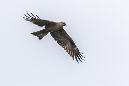 A black kite in flight is searching for fodder Stock Photo
