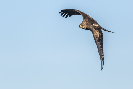 milvus: A black kite in flight is searching for fodder Stock Photo