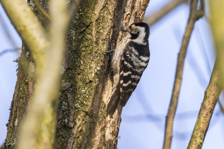 pájaro carpintero: A lesser pied woodpecker is searching for fodder on a tree bole