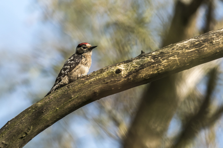 A lesser pied woodpecker is searching for fodder on a tree bole