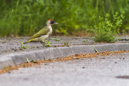 A green woodpecker is searching for fodder