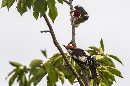 A great woodpecker is sitting on a tree bole