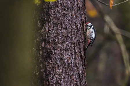 bough: A medium spotted woodpecker on a tree bole Stock Photo