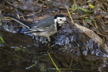 A white wagtail is searching for fodder on the riverside