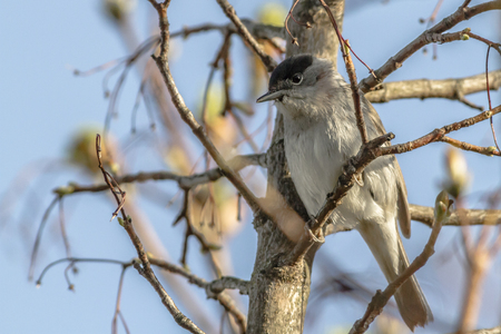 A blackcap is sitting on a branch Stock Photo