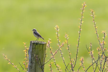 A common wheatear on his vantage point Stock Photo