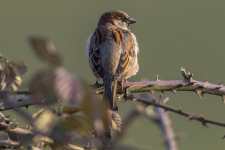 A house sparrow is sitting on a branch