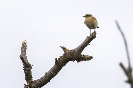 A common wheatear on his vantage point Stock Photo