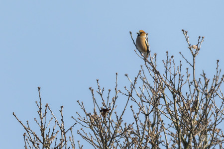 A grosbeak is sitting on a branch