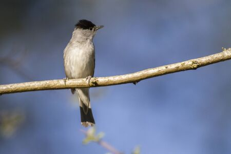 warblers: A blackcap is sitting on a branch Stock Photo