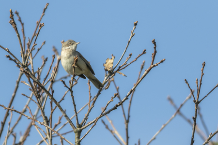 A lesser whitethroat is sitting on a branch Stock Photo